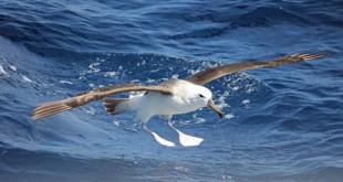 640px-Shy Albatross CW2