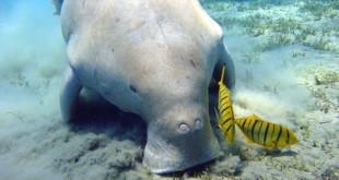 640px-Dugong Marsa Alam