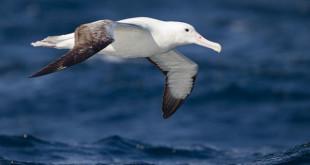 640px-Diomedea epomophora in flight 3 - SE Tasmania