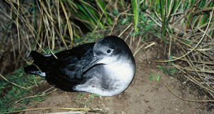 640px-Huttons shearwater DOC