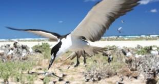 640px-Sooty tern flying