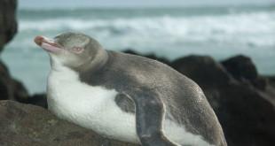 640px-Yellow-eyed Penguin Catlins New Zealand
