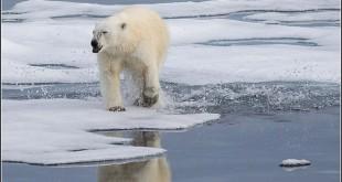 640px-Polar bear