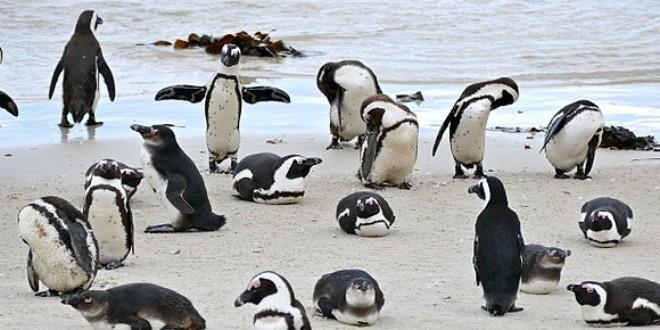 Las Zonas Prohibidas A La Pesca Pueden Salvar Al Pingüino Africano En Peligro De Extinción Ocean Sentry