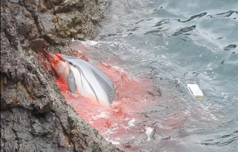 Bloodied striped dolphin panics after being driven into the Cove for slaughter, Taiji, Japan. Credit: DolphinProject.com